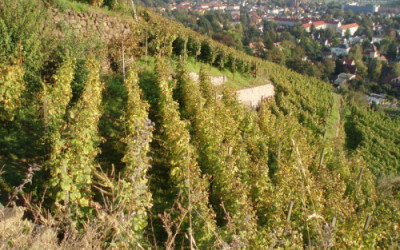 Vineyards in Radebeul